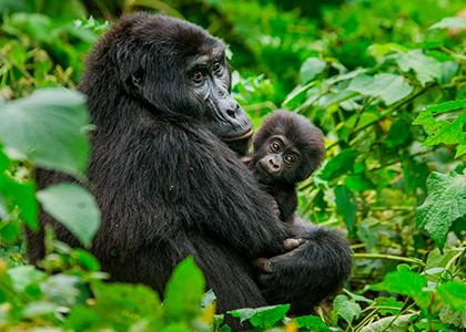 Gorilla i Bwindi National Park